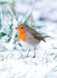 Robin in the Snow